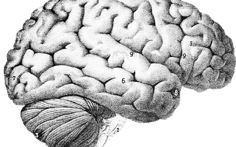 importancia del cerebro